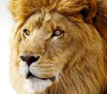 Fem tips til Lion